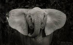 Dumbo flaps his ears by MorkelErasmus