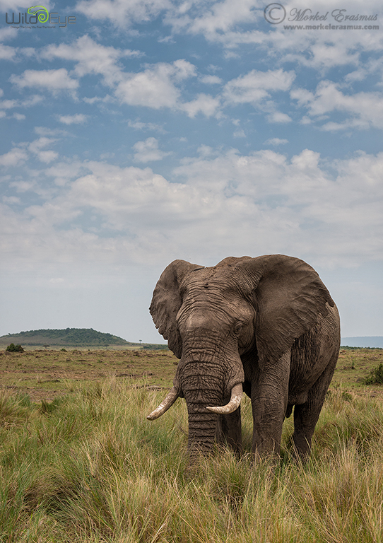Just an Elephant by MorkelErasmus