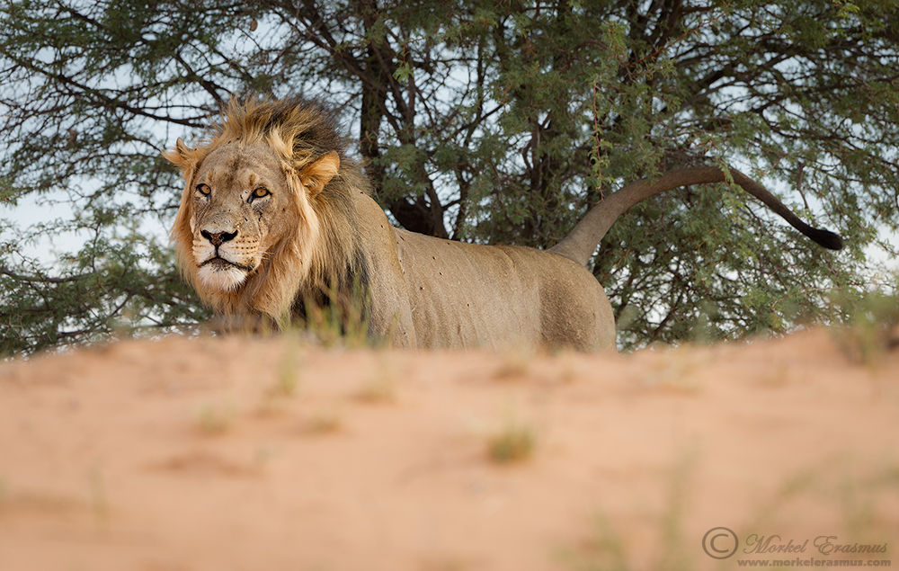 Marking his Domain by MorkelErasmus