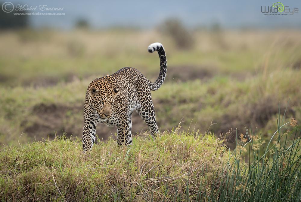 Stunning Leopard by MorkelErasmus