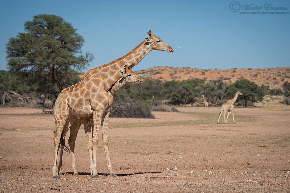 Neck to Neck by MorkelErasmus
