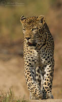 Leopard Patrol by MorkelErasmus