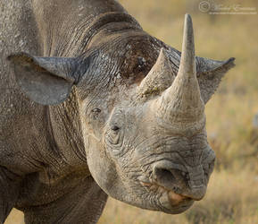 Shrek the Rhino by MorkelErasmus