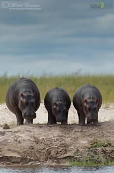 Three Sleepy Hippos