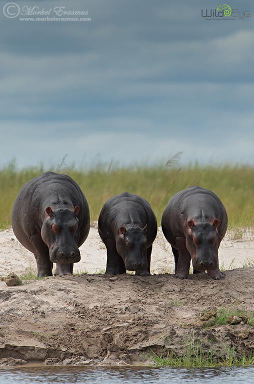 Three Sleepy Hippos by MorkelErasmus