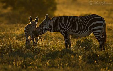 Tender Zebra Moment