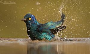 Glossy Starling Splashbath