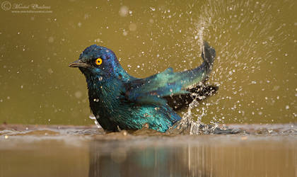 Glossy Starling Splashbath by MorkelErasmus
