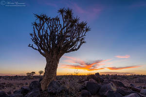 Quiver Tree Sunset