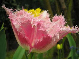 tulipes by krokette