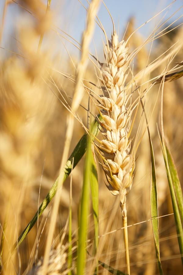 ear of wheat by sstando