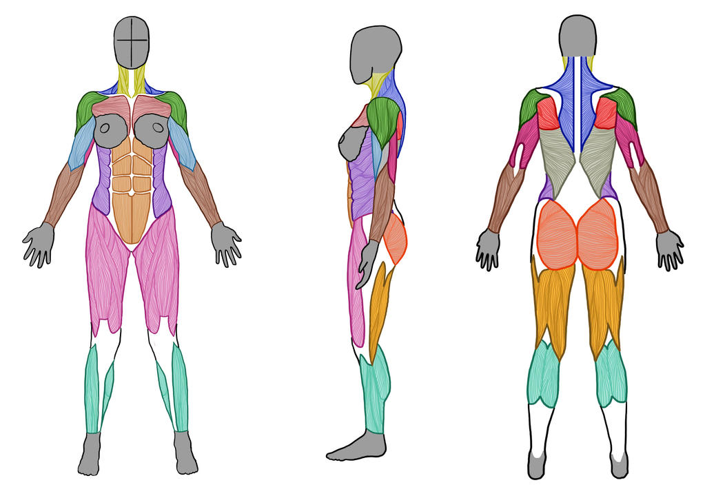 Female Muscle Anatomy (Front, Side and Back) by ArtistSaif on DeviantArt