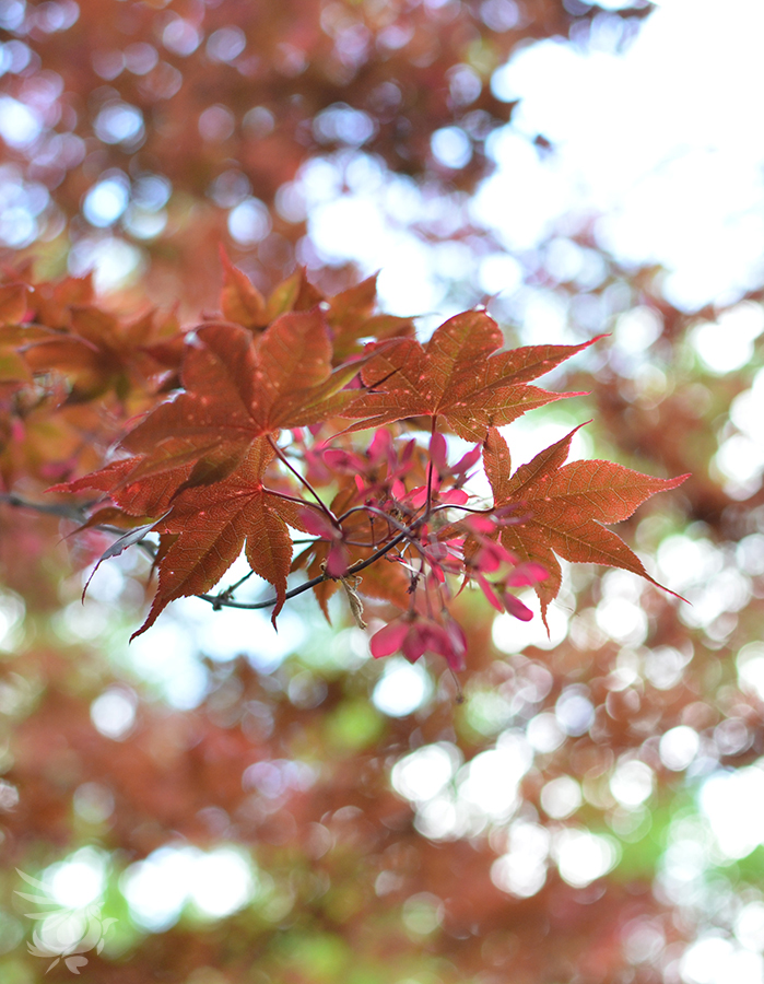 Dappled Maple by calger459
