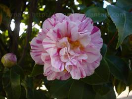 Blossom by Arnax