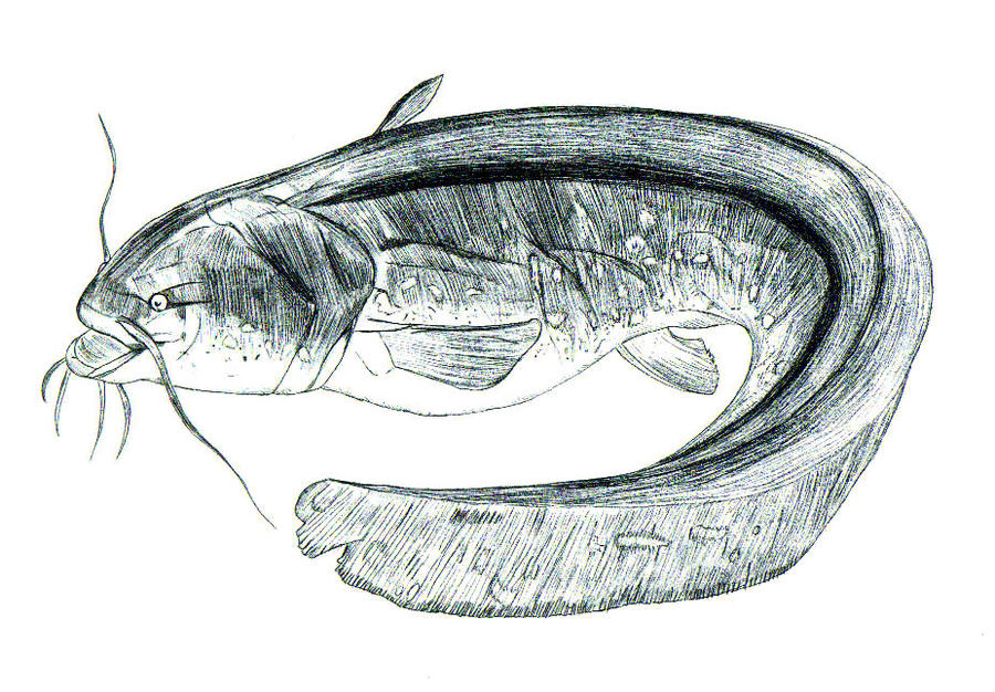 channel catfish drawing