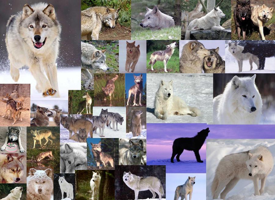 Wolves wallpaper by wolfhogen