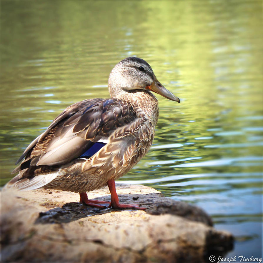 Canadian Duck by JosephTimbury