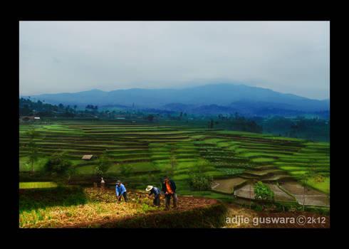 Ricefield of Ciseureuh..