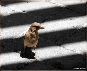 'Sparrow-walking'