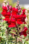 Red Snapdragon in Bloom by ShadowKnight508