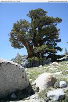 Yosemite 12 pine by RoonToo