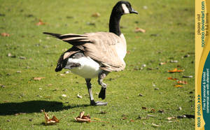 Canadian Goose 4 by RoonToo
