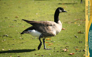 Canadian Goose 5 by RoonToo