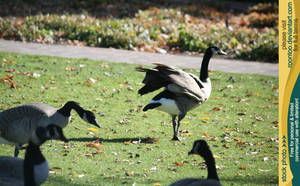 Canadian Goose 6 by RoonToo