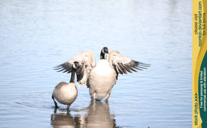 Canadian Goose 7 by RoonToo