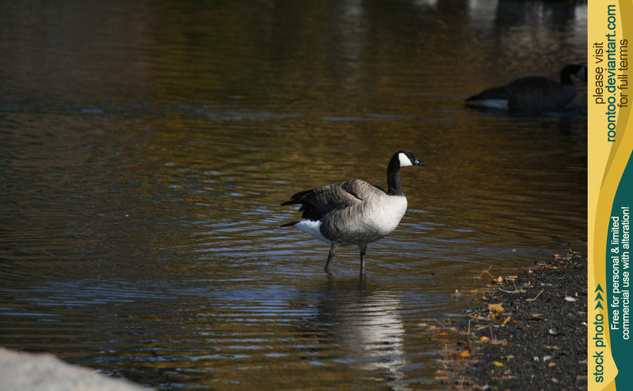 Canadian Goose 11 by RoonToo