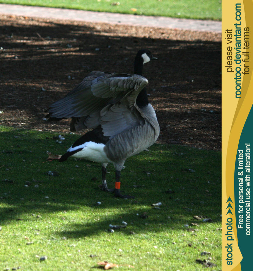 Canadian Goose 12 by RoonToo