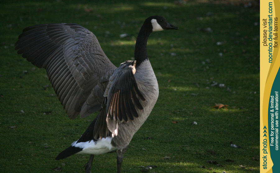 Canadian Goose 13 by RoonToo