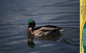 Mallard duck 3 by RoonToo