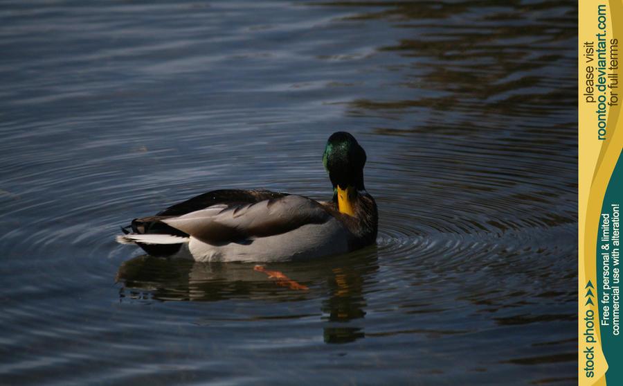 Mallard duck 4 by RoonToo