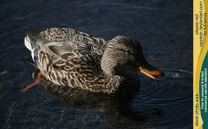 Mallard duck 5 by RoonToo