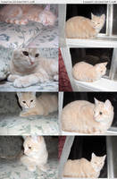 Cat montage -low quality by RoonToo