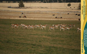 Pronghorn herd 2 by RoonToo