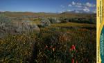 Poppy Field 14