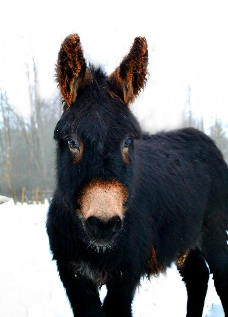 Black donkey foal by Mr-Goldfish on DeviantArt