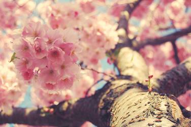 sakura two by myhardcorepony