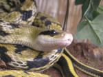 Taiwanese Beauty Snake