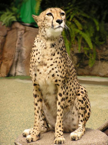 Cheetah stock by TalkStock
