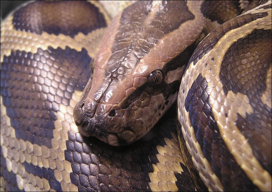 Jack Saxon  Burmese_python_by_kyuuten-d2y9s62