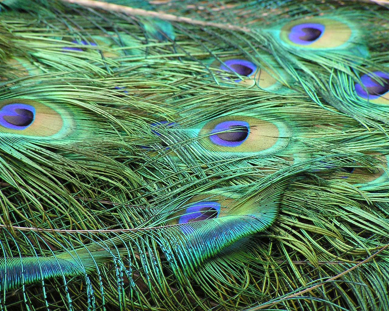 peacock feather design wallpaper viewing gallery