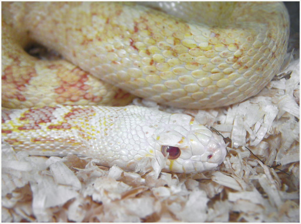 Albino Sonoran Gopher Snake by TalkStock on DeviantArt