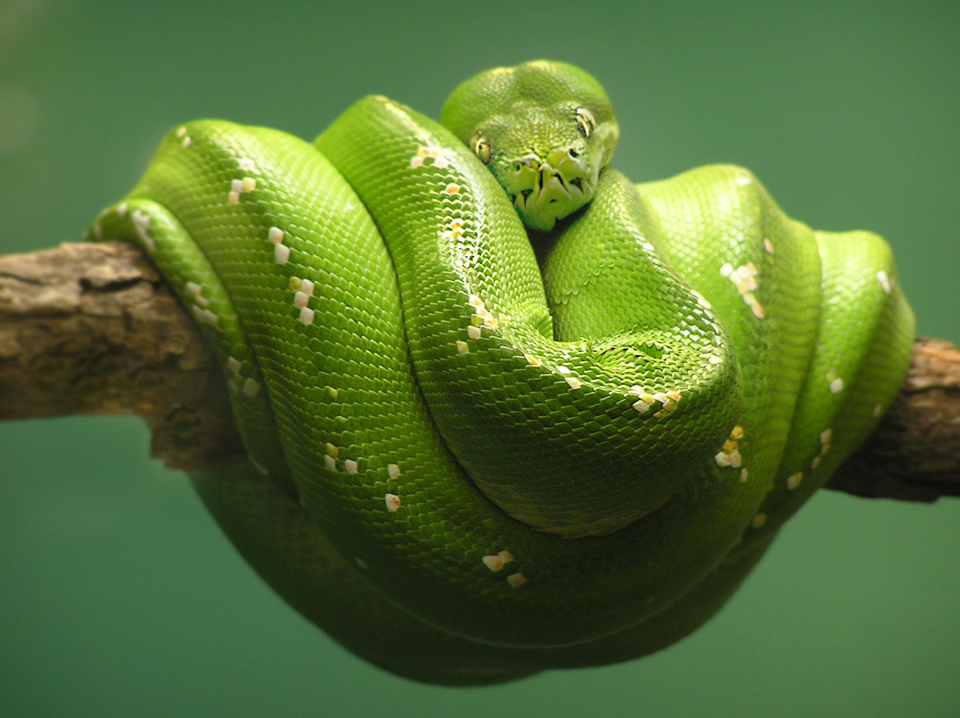 Green Tree Python by TalkStock