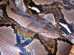 Reticulated Python Stock