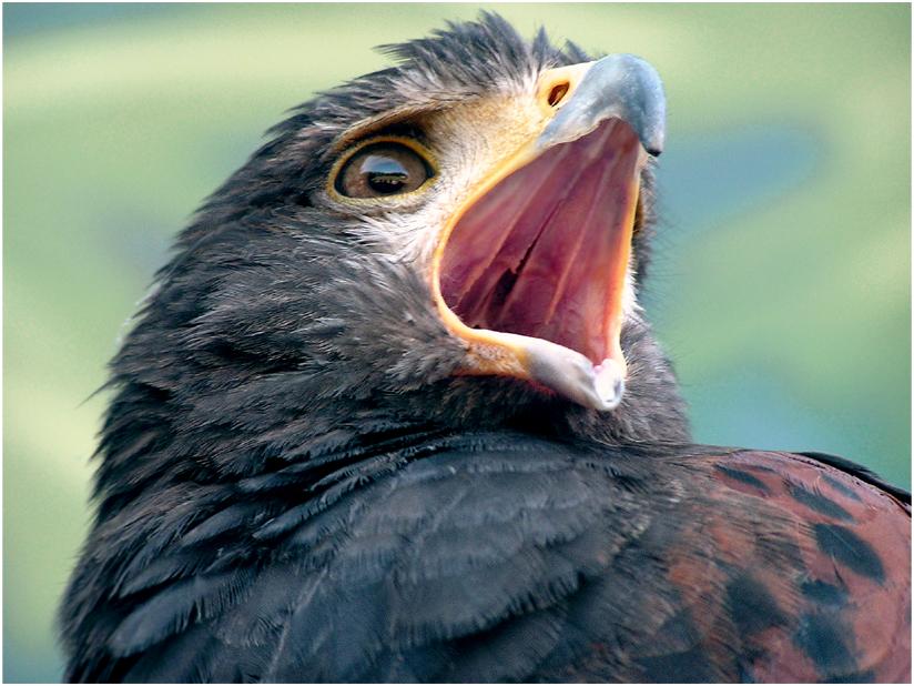 Harris Hawk Open Mouth Stock by TalkStock