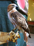Red-Tailed Hawk Stock