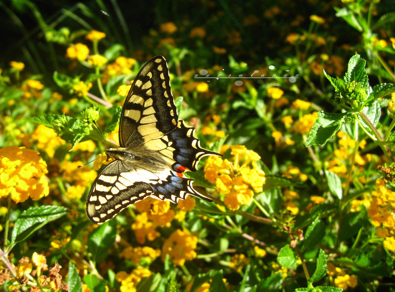 Swallowtail Butterfly by xxxsulaxxx